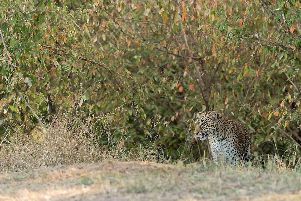 leopard - kosobo