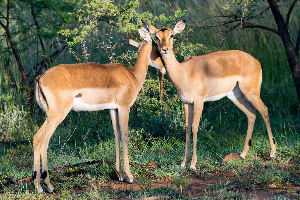Impala Pilanesberg