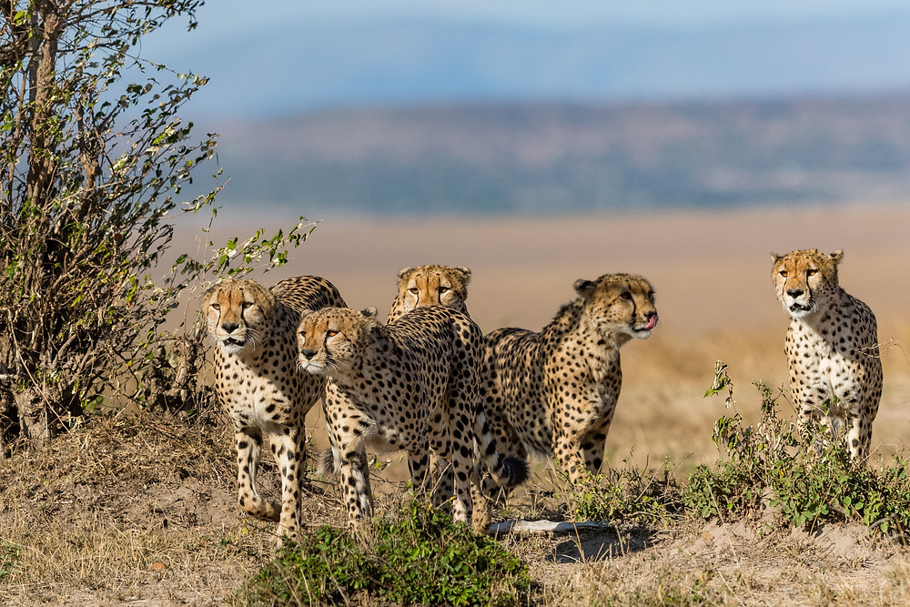 5 Cheetahs