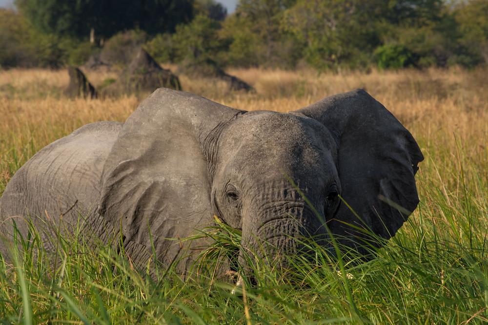 Elephant reeds