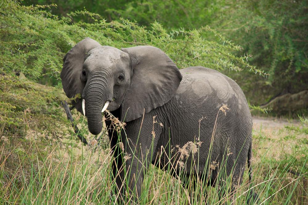 Liwonde Elephant