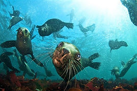 fur seals ocean NEW.jpg