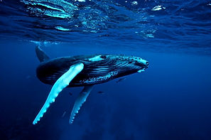 humpback4_edited.jpg
