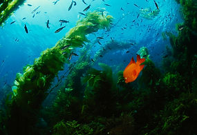 Snorkelling and scuba diving courses / classes in Auckland, New Zealand, Huntington Beach, California, USA.We area referral divefacility and a guided (Discovery) dive centre or center.