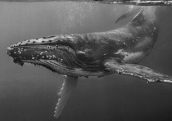 humpback2_edited.jpg