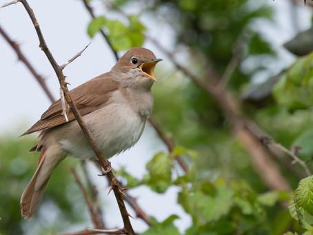 Nachtigall, die berühmteste Sängerin der Vogelwelt