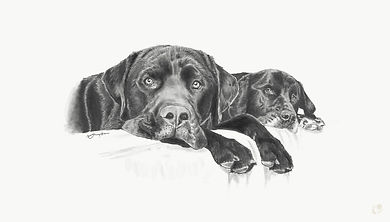 Dog portait pencil sketch