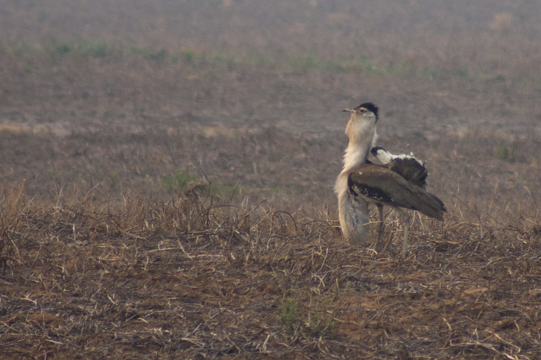 Displaying Bustard