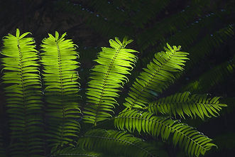 King Fern, Carnarvon Gorge.