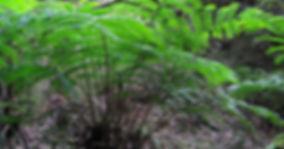 King ferns, Carnarvon Gorge.