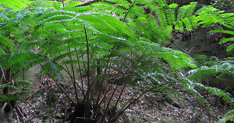 King ferns, Carnarvon Gorge.