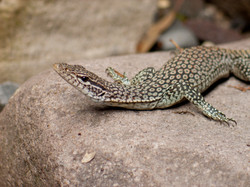 black-tailed monitor