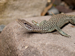 Black-tailed Monitor, Carnarvon Gorge