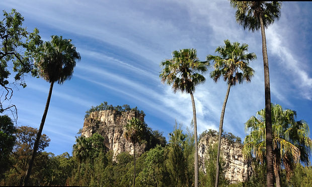 Tall Carnarvon fan palms frame towering cliffs in Carnarvon Gorge.