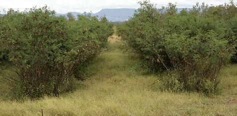 Leucaena plantation, Carnarvon Gorge.