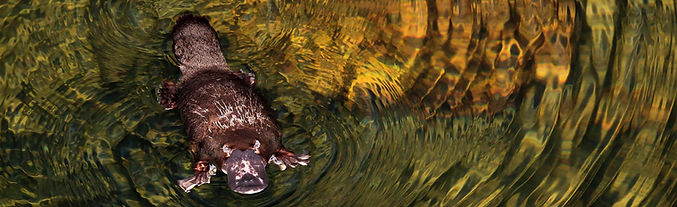 Platypus, Carnarvon Creek.