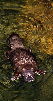 Platypus, Carnarvon Gorge.