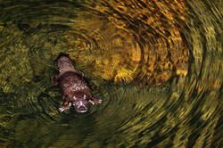 Platypus, Carnarvon Gorge