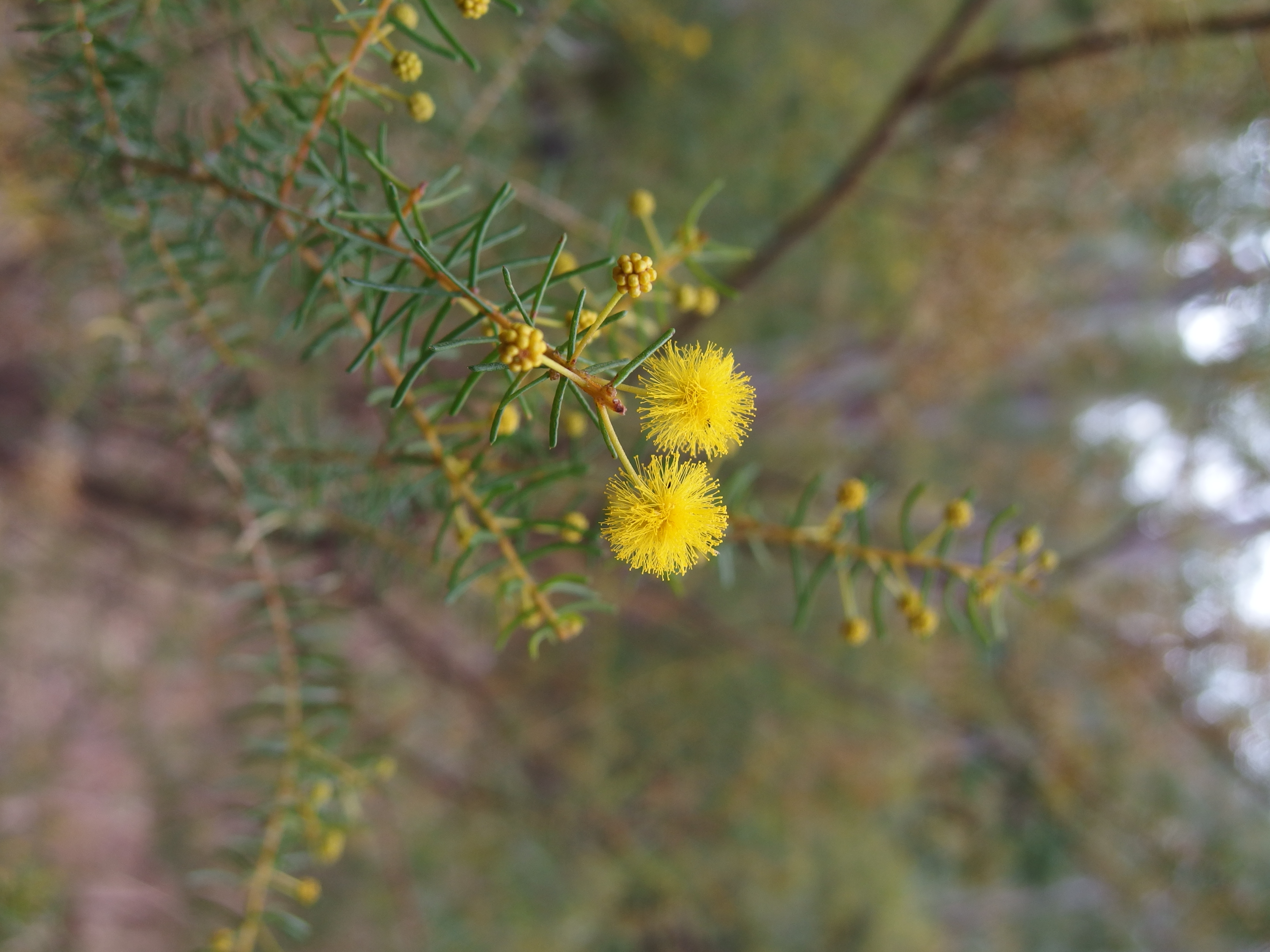 Acacia acicularis
