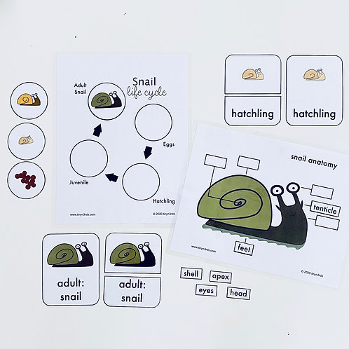 Snail Life Cycle & Anatomy
