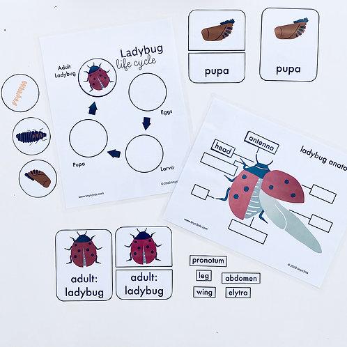 Ladybug Life Cycle & Anatomy