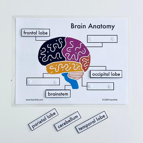 Simple Brain & Tooth Anatomy