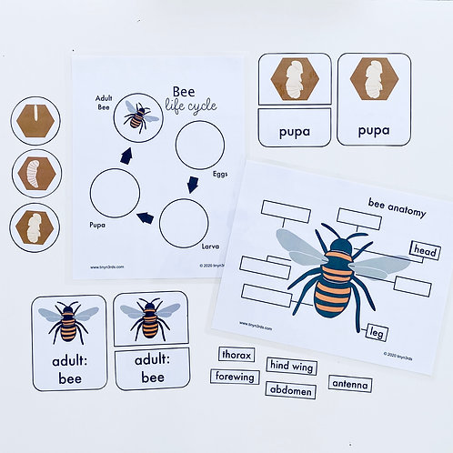 Bee Life Cycle & Anatomy