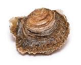 platte oester