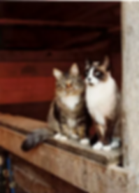 barncats.webp