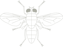 Diptera_Detail_transparent.png