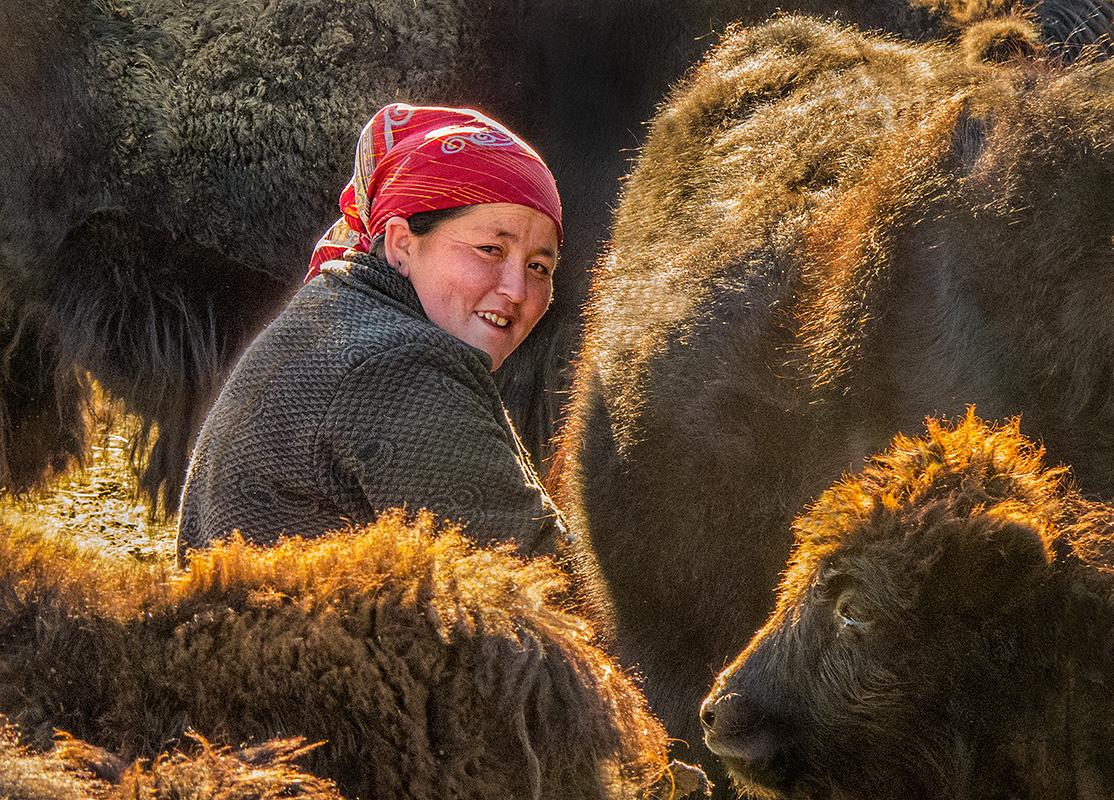 Milking Yaks #2