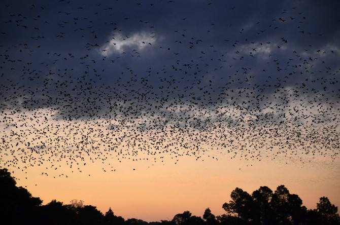 500 thousand little red flying foxes flyout