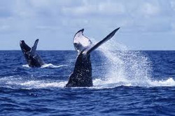 Whale watching & listening