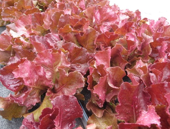 Red lettuce April 25 19