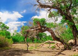 Zion Fallen tree 2a