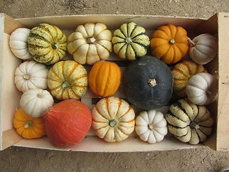 courge coloquintes.jpg
