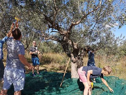 Olive-picking.jpg