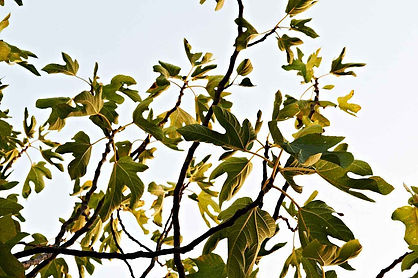 Fig leaves in the sunshine