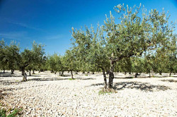 Local olive grove