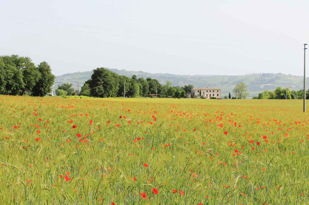 Local Poppy fields