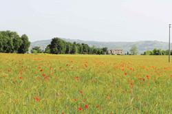 Local Poppy fields