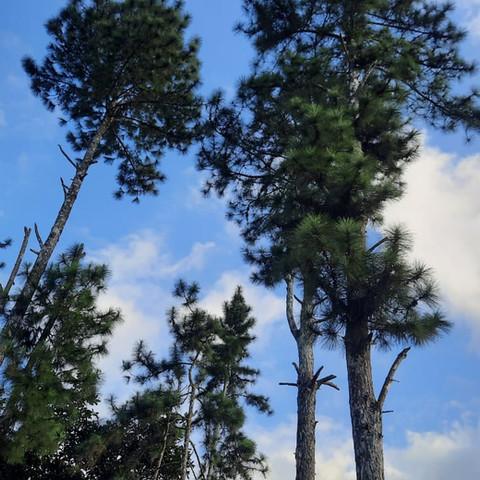 Pine Trees in Cerro Azul, Panama
