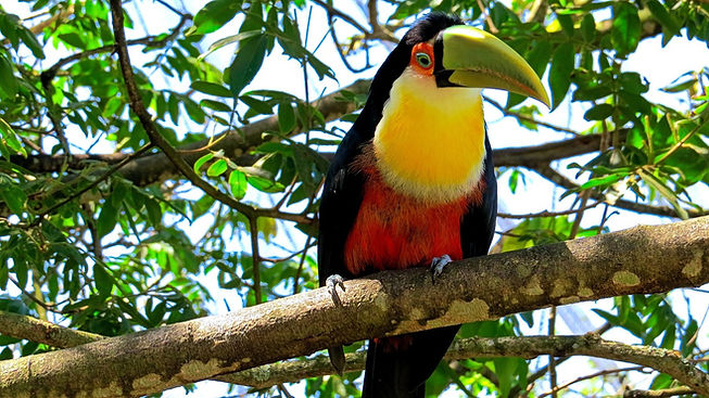 Toucan at La Semilla Ecolodge in Cerro Azul Panama