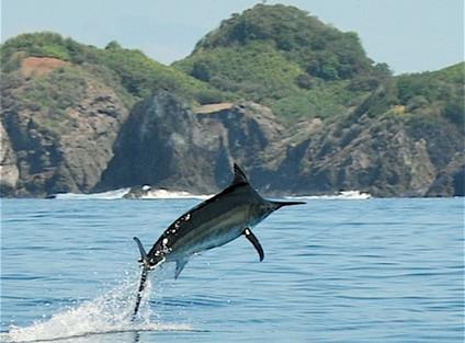Panama billfish