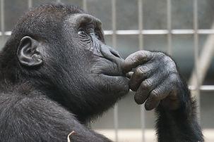 view-ape-thinking-primate-33535.jpg
