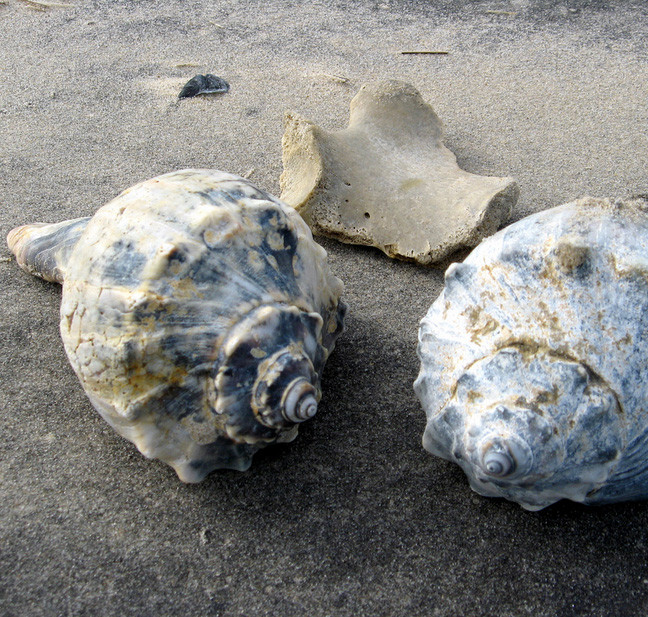 Atlantic Knobbed Whelk.jpg
