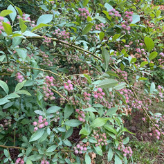 The Watermark campus has severeal blueberry bushes where residents can pick fresh blueberries in season.