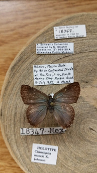 Pinned Lepidoptera