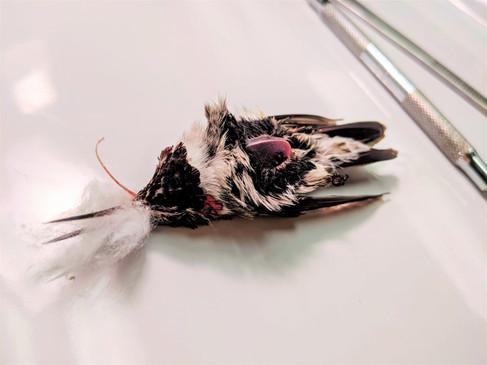 Hummingbird - Stage 1