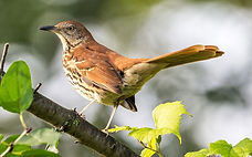 brown-thrasher.jpg